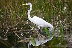 Ardea_alba-reflected.jpg