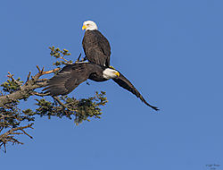 BALD_EAGLE857_1_of_1_.jpg