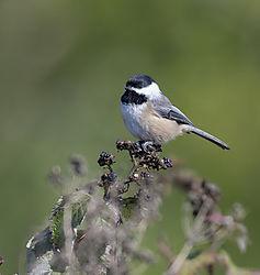 BLACK_CAPPED_CHICKADEE8_1_of_1_.jpg
