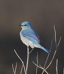 BLUEBIRD8_1_of_1_.jpg