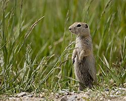 Baby_Ground_Squirrel.jpg