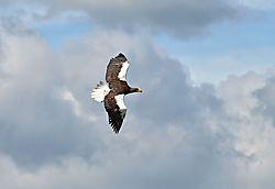 Bald_Eagle14.jpg