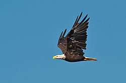 Bald_Eagle7.jpg