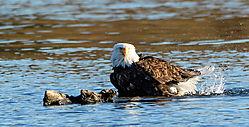 Bald_Eagle_bathing-6005.jpg