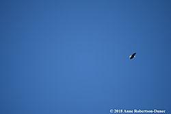 Bald_eagle15.jpg
