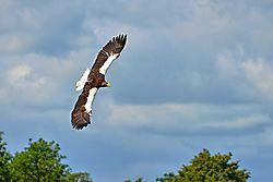 Bald_eagle22.jpg