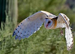 Barn-Owl_ACT4387-2.jpg