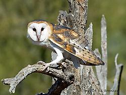 Barn-Owl_ACT4393.jpg