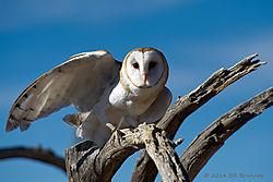 Barn-Owl_ACT4425.jpg