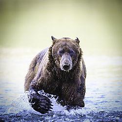 Bearpaw.jpg