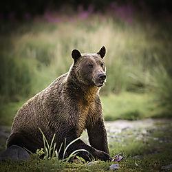 BearwithFireweed.jpg