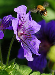 Bee-and-Geranium.jpg