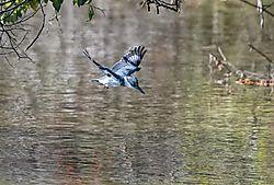 Belted_Kingfisher.jpg