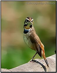 Bird_Bluethroat_Nalban_2012_DSC_7924_f_Cr_Rz_FB.jpg