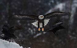 Birds-eagles.jpg