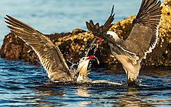 Birds_Baja_Isla_Rasa_Terns_Gulls_Bill_Klipp_.jpg