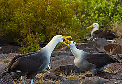 Birds_Galapagos_Isla_Espanola_Waved_Albatross_Bill_Klipp_.jpg