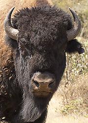 Bison22.jpg
