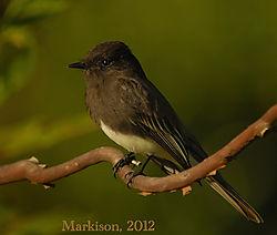 BlackPhoebeSayornisNigricans_Markison2012_signed_800px.jpg