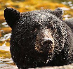Black_Bear_1902.jpg