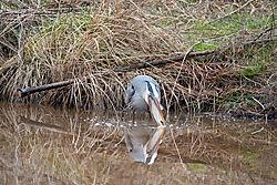 Blue_Heron-7617.jpg