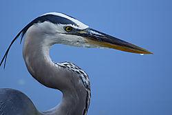 Blue_Heron_Venice_2.jpg