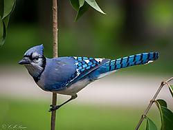 Blue_Jay11.jpg