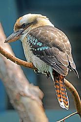 Blue_Winged-Kookaburra.jpg