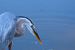 Blue_heron_Venice.jpg