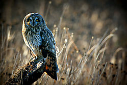 Boundary_Bay_Short-eared_Owl_II.jpg