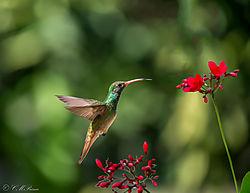 Buff-bellied_Hummingbird_red-P.jpg