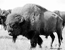 Buffalo-Bull1.jpg