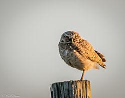 Burrowing_Owl-l.jpg
