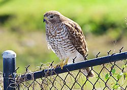 Buteo_1-Gallery-Bird.jpg