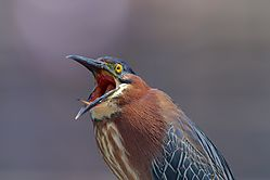 Butorides_virescens-Open_mouth.jpg