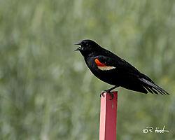 Calling_Redwinged_Blackbird.jpg