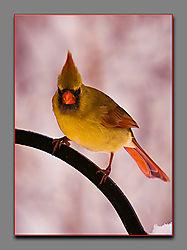 Cardinal11.jpg