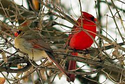 Cardinal_couple.jpg