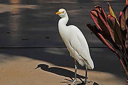 Cattle-Egret1.jpg