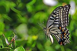 Citrus-Swallowtail.jpg