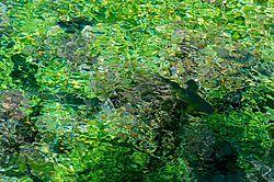 Clear_Waters_Trout_III.jpg