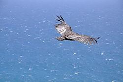 Condor_Release_-_Coastlands_0181.JPG