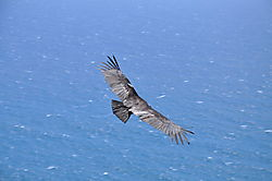Condor_Release_-_Coastlands_0301.JPG