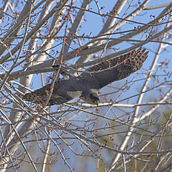 Cooper_hawk_in_flight.jpg