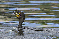 Cormorant_with_Fish_2.jpg