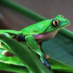 Costa_Rica_Frog1.jpg
