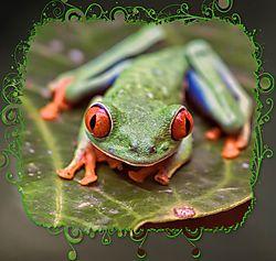 Costa_Rica_Frog2.jpg