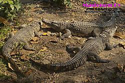 Crocodiles3x_0052.jpg