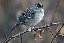 D600_Golden-crowned_Sparrow.jpg