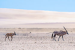 DSC1714_desert_mother_and_baby_oryx_8x12.jpg